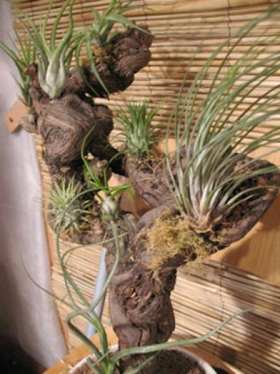 cr ation art floral vigne cep de vigne et tillandsias cr ation art floral de carohe14 n. Black Bedroom Furniture Sets. Home Design Ideas