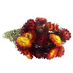 Fleurs séchées - Helichrysum Rouge - 50 cm environ