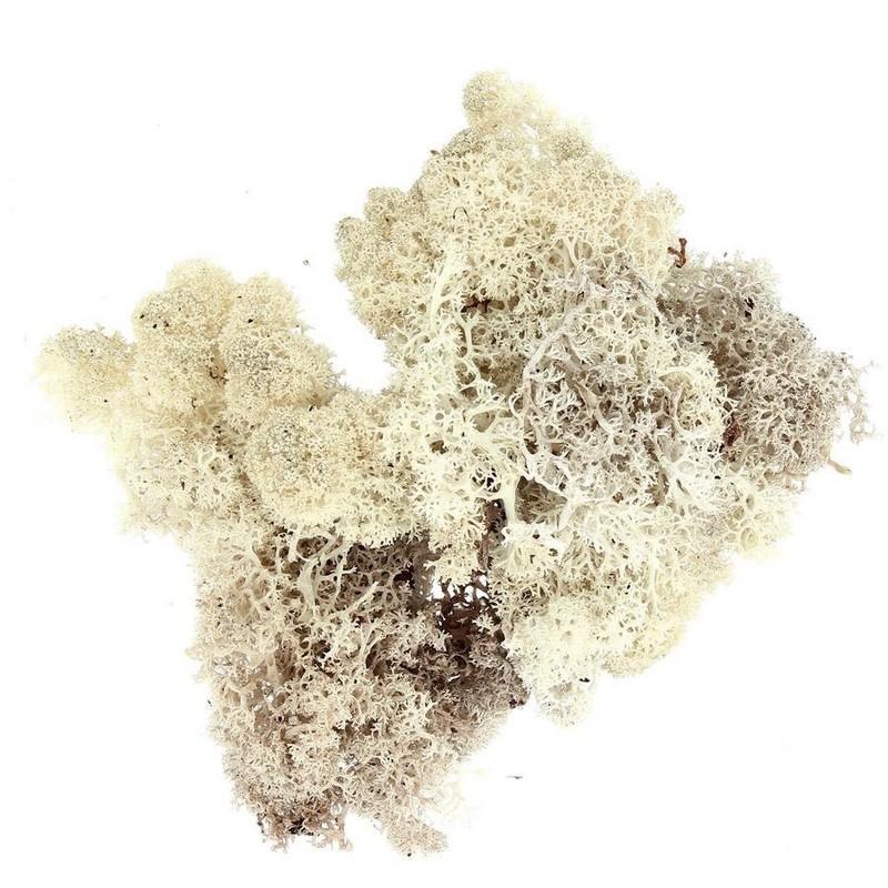 Sachet de mousse d 39 islande lichen naturel de 50g pour une d co - Mousse pour assise canape ...