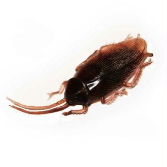 3 Blattes en plastique gros cafards marron