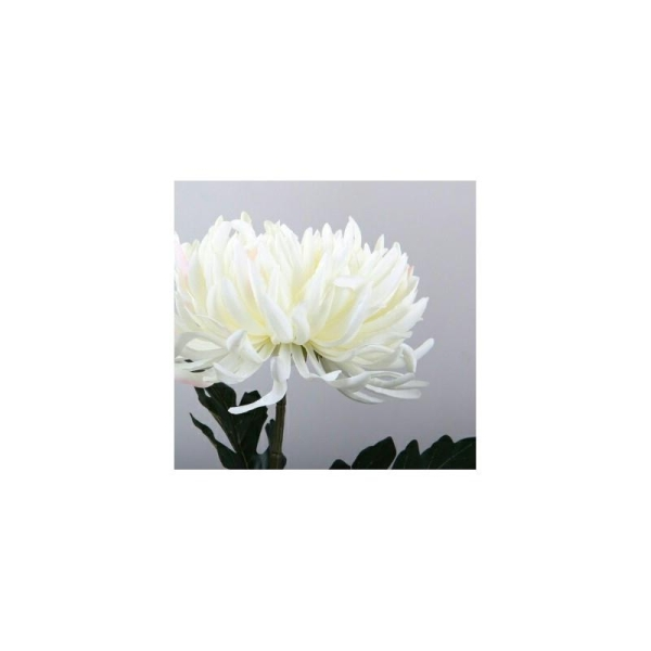Chrysanthemum - Photo n°1