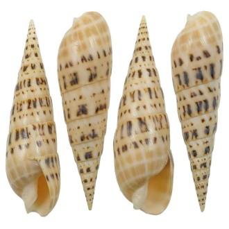 Coquillage terebra maculata poli