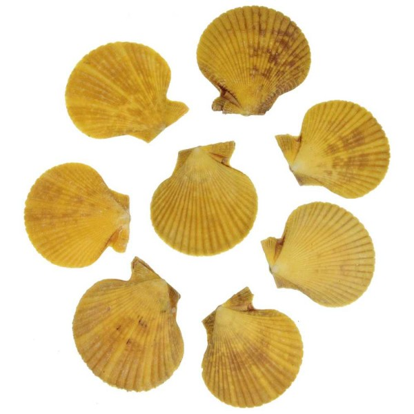 Coquillages pecten nobilis jaunes entiers - 5 à 6 cm - Lot de 6 - Photo n°1