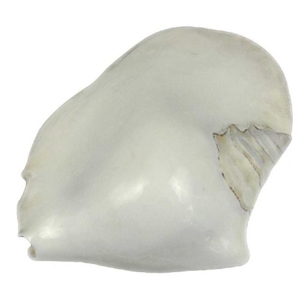 Coquillage strombus latissimus blanc poli - Taille 13 à 16 cm - Photo n°1