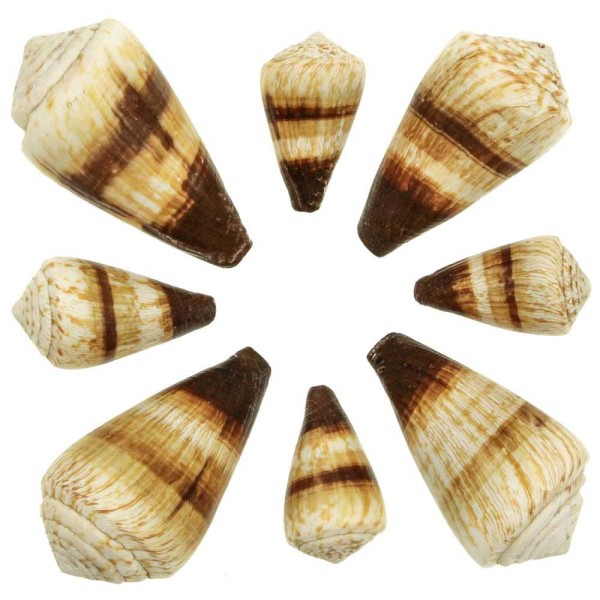 Coquillages conus miles - 5 à 9 cm - Lot de 2 - Photo n°1