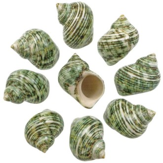 Coquillages turbo crassus verts polis - 5 à 7 cm - Lot de 2