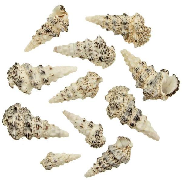 Coquillages cerithium nodulosum - 5 à 10 cm - 250 grammes - Photo n°1