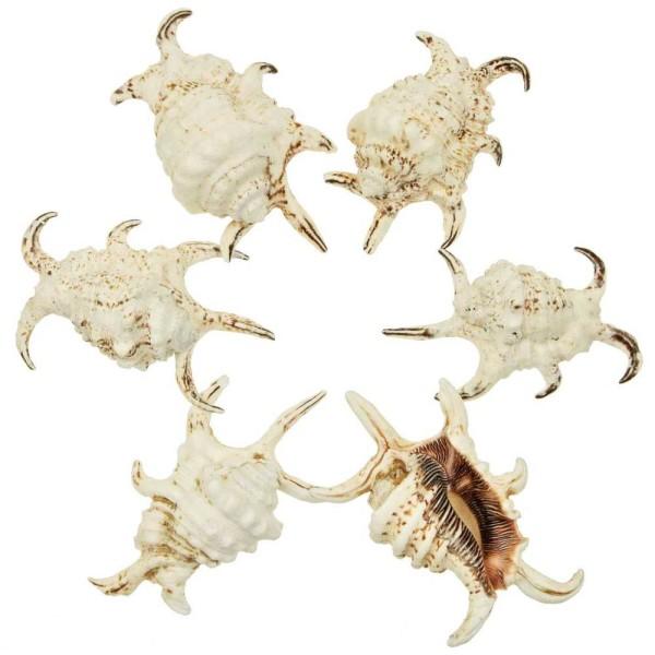 Coquillages lambis arthritica - 11 à 13 cm - Lot de 2 - Photo n°1
