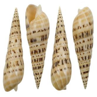 Coquillage terebra maculata