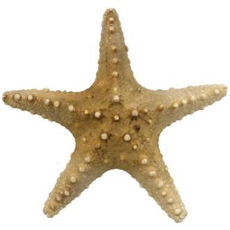 Etoile de mer pentaceraster tuberculatus