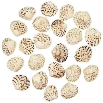Coquillages lioconcha castrensis entiers - 3.5 à 4 cm - Lot de 5