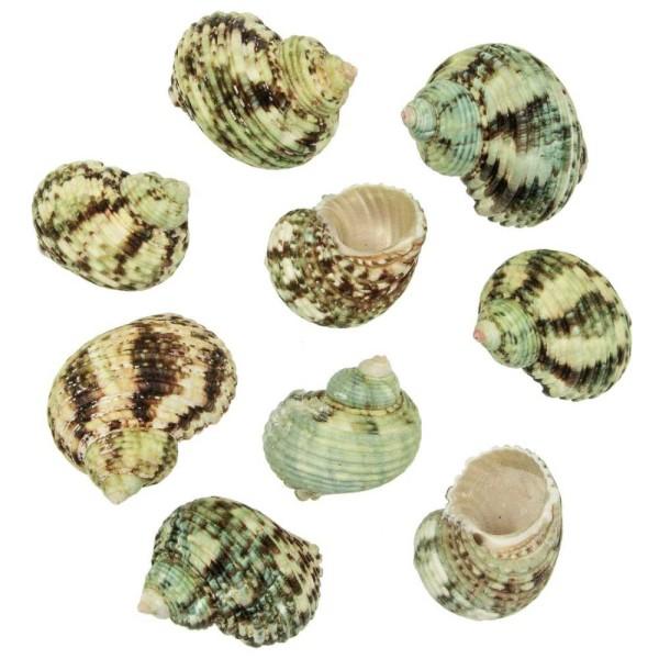 Coquillages turbo argyrostomus - 5 à 6 cm - Lot de 5 - Photo n°1