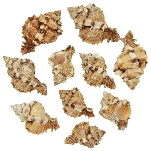 Coquillages phyllonotus pomum - 6 à 9 cm - 250 grammes - Photo n°1