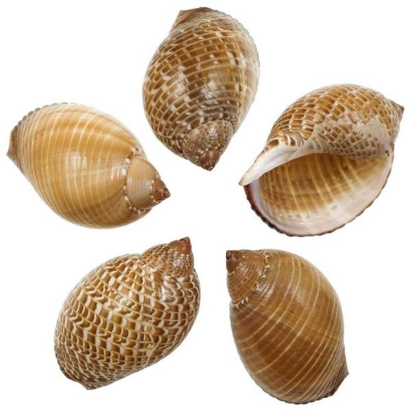 Coquillages tonna perdrix - 8 à 10 cm - Lot de 2 - Photo n°1