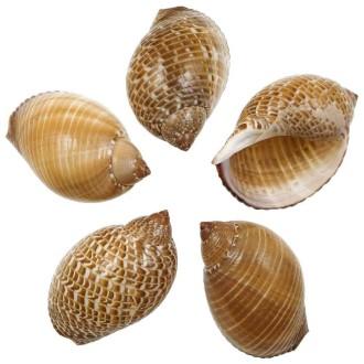 Coquillages tonna perdrix - 8 à 10 cm - Lot de 2