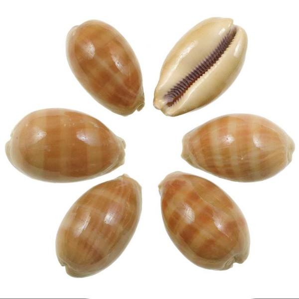 Coquillages cypraea carneola - 6 à 8 cm - Lot de 2 - Photo n°1