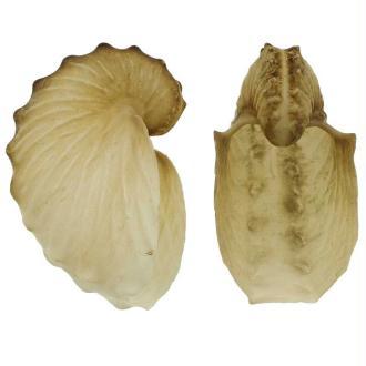Coquillage argonaute hians - Taille 3.5 à 4.5 cm