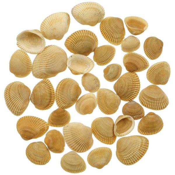 Coquillages anadara subcrenata jaunes - 2 à 3.5 cm - 100 grammes - Photo n°1