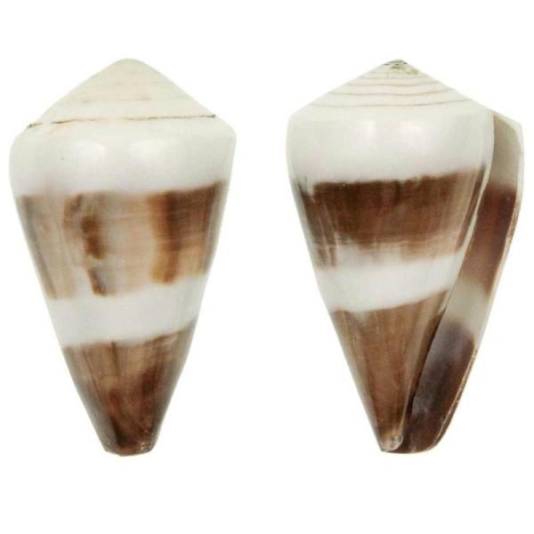 Coquillage conus miles poli - Taille 5 à 7 cm - Photo n°1