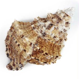 Coquillage bursa bubo - Taille 18 à 20 cm