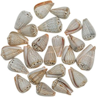 Coquillages conus assortis - 4 à 6 cm - Lot de 10