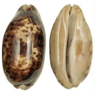 Coquillage cypraea testudinaria - Taille 10 à 12 cm