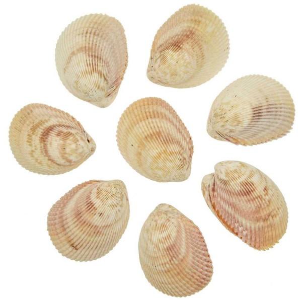 Coquillages trachycardium muricatum entiers - 8 à 10 cm - Lot de 5 - Photo n°1