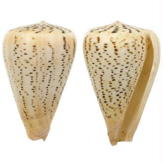 Coquillage conus suratensis - Taille 6 à 8 cm