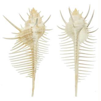 Coquillage murex pecten - Taille 8 à 10 cm