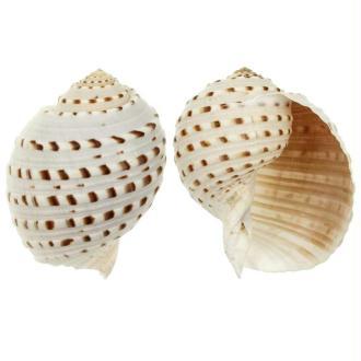 Coquillage tonna tessalata - Taille 14 à 18 cm