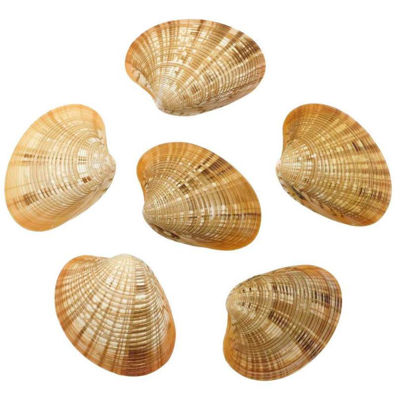 Coquillage callista erycina entier - Taille 6 à 7 cm - Photo n°1