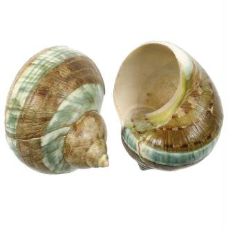 Coquillage turbo jade à bandes - Taille 7 à 8 cm