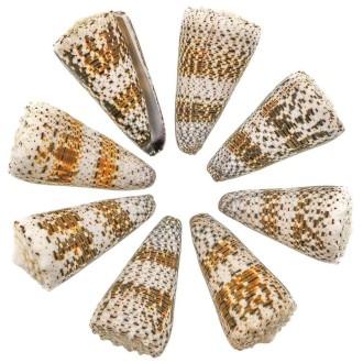 Coquillage conus imperialis - 6 à 8 cm - Lot de 2