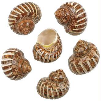 Coquillages turbo petholatus taillés (bandes fines) - Taille 4 à 6 cm