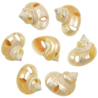 Coquillages turbo goldmouth nacrés et taillés - 5 à 6 cm - Lot de 2