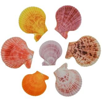 Coquillages pecten nobilis couleurs entiers - 6 à 7 cm - Lot de 5