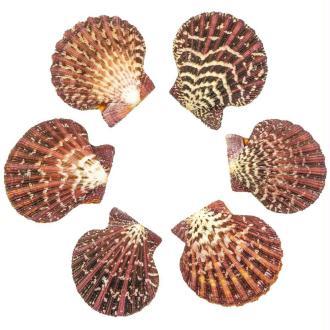 Coquillage pecten pallium entier - 5 à 7 cm - Lot de 3