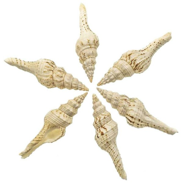 Coquillage fusinus nicobaricus - Taille 11 à 13 cm - Photo n°2