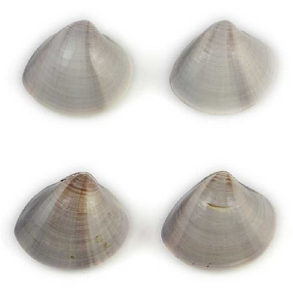 Coquillage meretrix lusoria entier - Taille 5 à 6 cm - Photo n°4