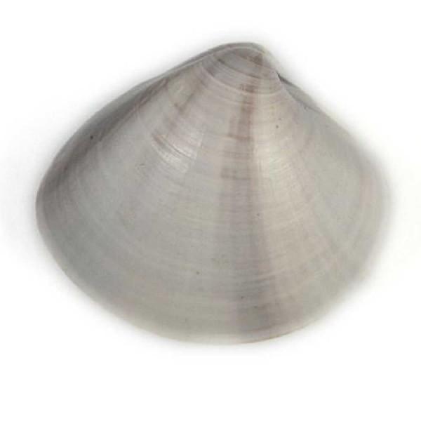 Coquillage meretrix lusoria entier - Taille 5 à 6 cm - Photo n°1