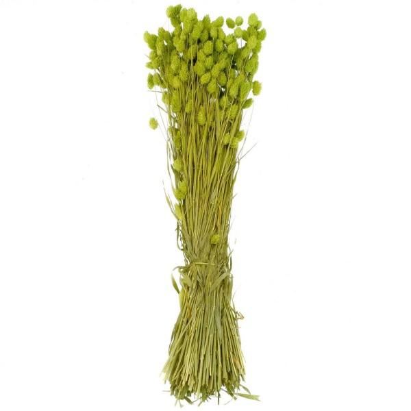 Bouquet fleurs séchées phalaris vert - 70 cm - Photo n°1