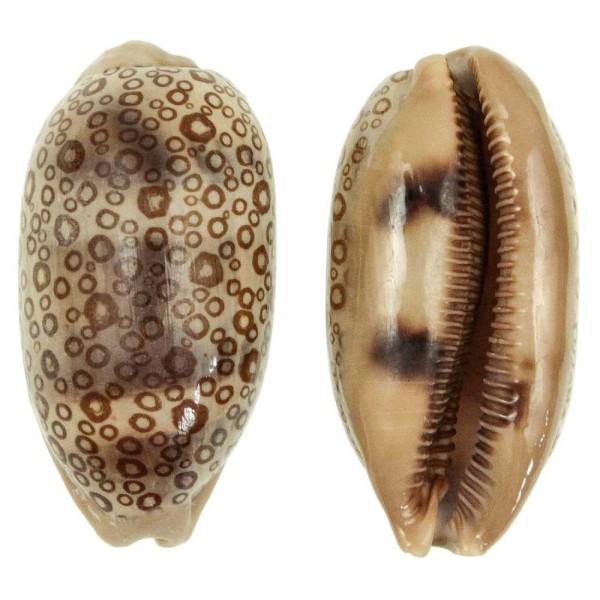 Coquillage cypraea argus - Taille 6 à 8 cm - Photo n°1