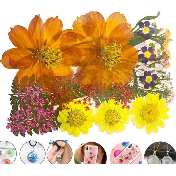 Mélange De Couleur Orange Et Jaune Coreopsis Chrysanthème Naturel Pressé De Fleurs Séchées Feuilles - Photo n°1