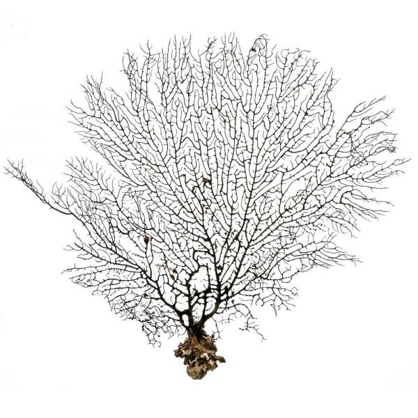 Gorgone ou éventail de mer déco - 57 x 43 cm - Photo n°2