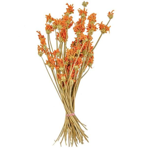 Bouquet de leonitis leonurus orange stabilisé - 60 cm - Photo n°1