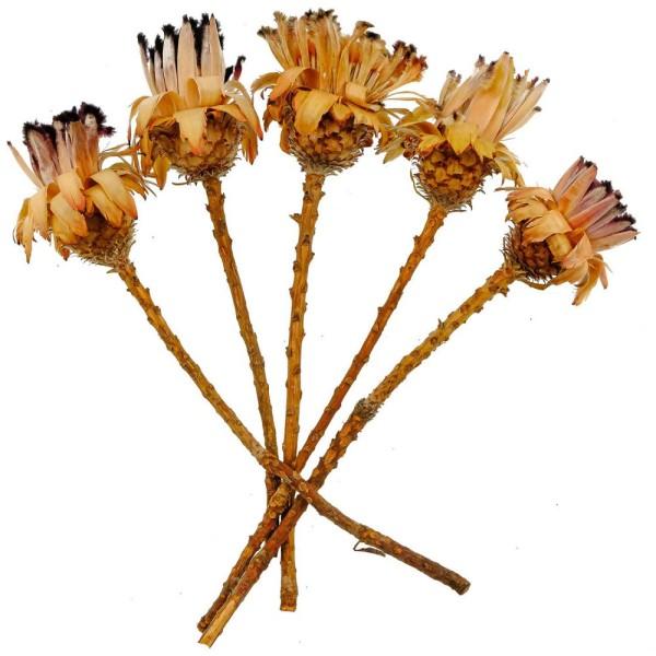 Fleurs sechées protea neriifolia - 30 à 35 cm - Lot de 5 - Photo n°1