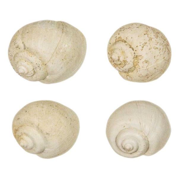 Coquillage ampullella parisiensis fossile - 2 à 2.5 cm. - Photo n°3