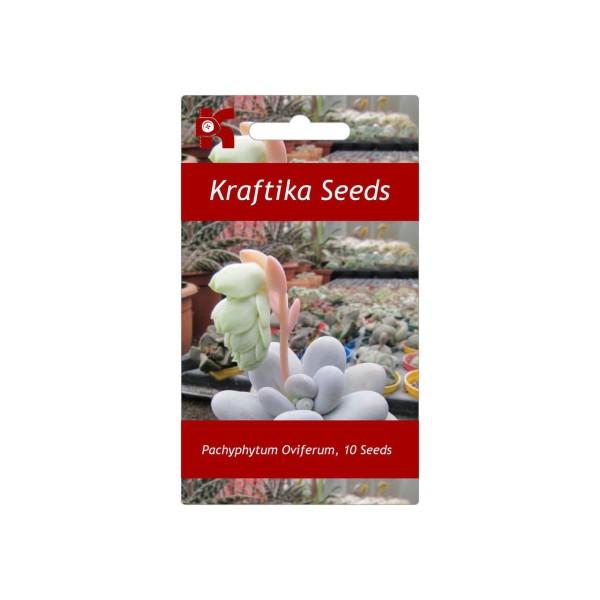 10 Graines De Pachyphytum Oviferum, Jardin Des Plantes Grasses, Des Mignons De Plantes Succulentes, - Photo n°1