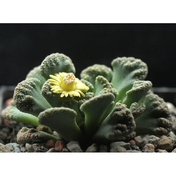 10 Graines Titanopsis Calcarea, Jardin Des Plantes Grasses, Des Mignons De Plantes Succulentes, Exot - Photo n°2