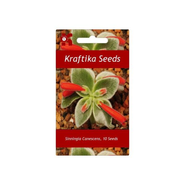 10 Graines Sinningia Canescens, Rechsteineria Leucotricha, Exotiques Rares Succulentes Plantes À Fle - Photo n°1